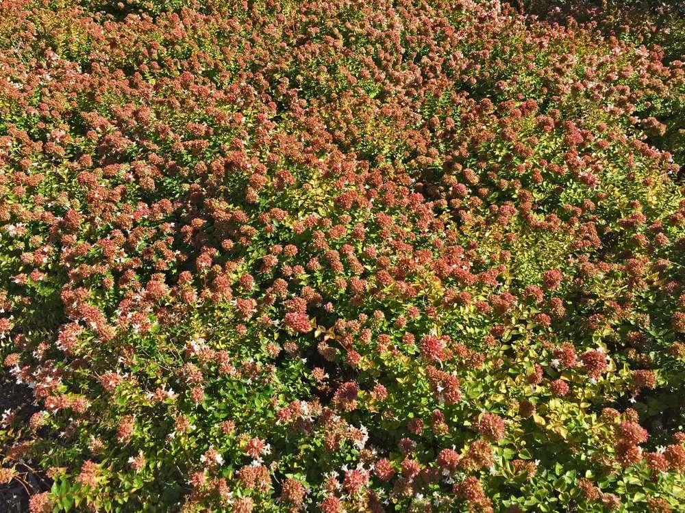 abelia shrub
