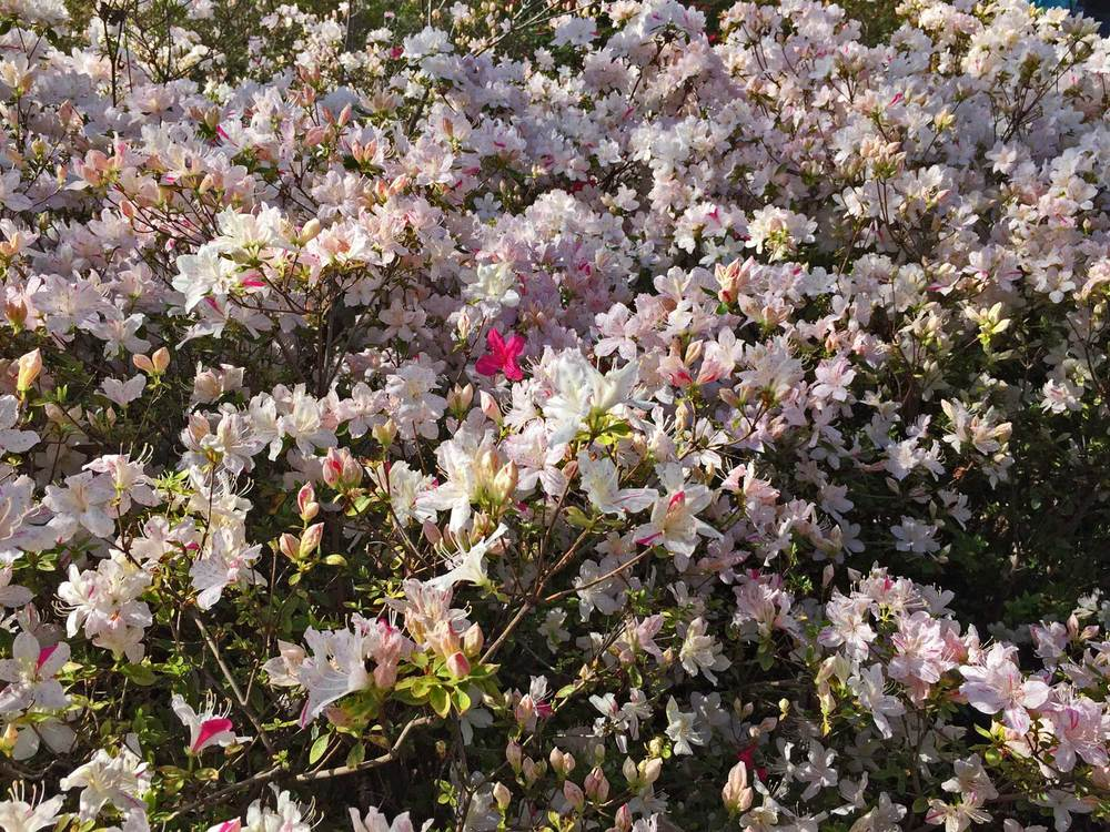 azalea white.jpg