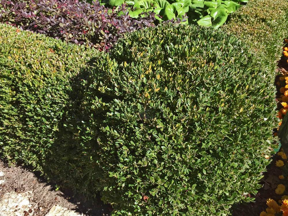 boxwood shrub (buxus microphylla)