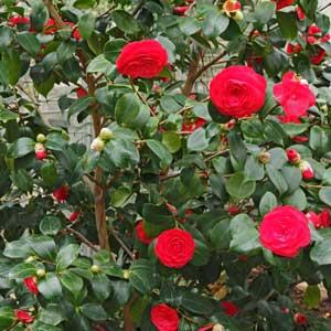camellia shrub (camellia sasanqua)