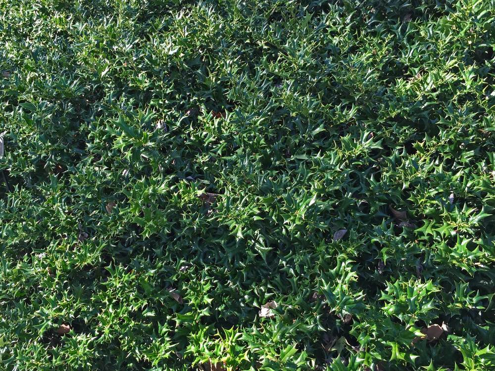 chinese holly (ilex cornuta)