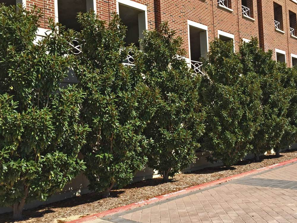 Magnolia trees used as a screen hedge.
