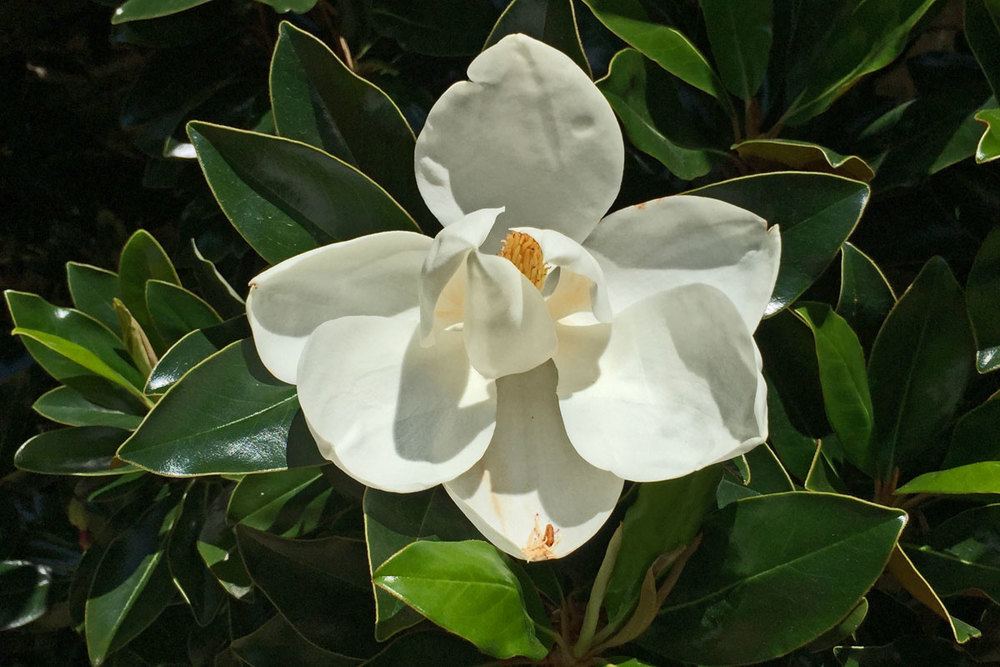 White & fragrant blooms of the Magnolia