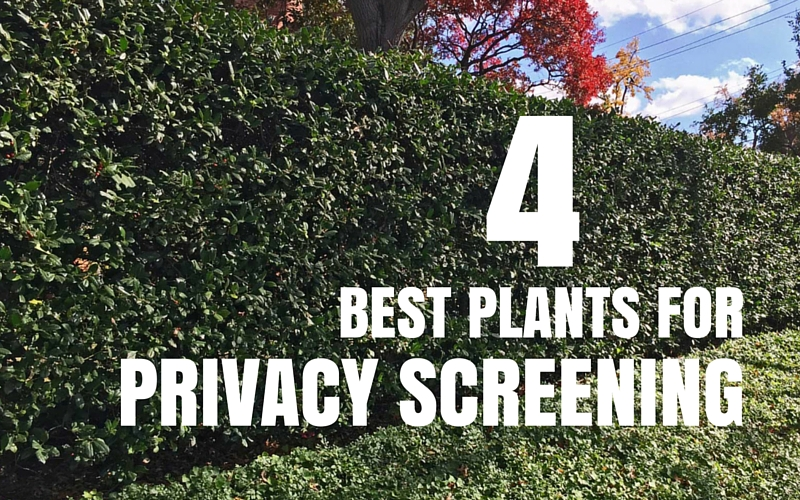 4 best plants for privacy screening
