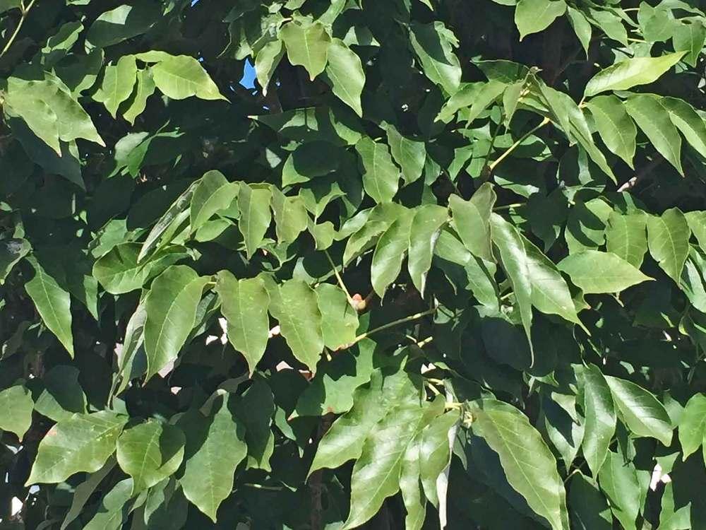 urbanite ash tree leaves