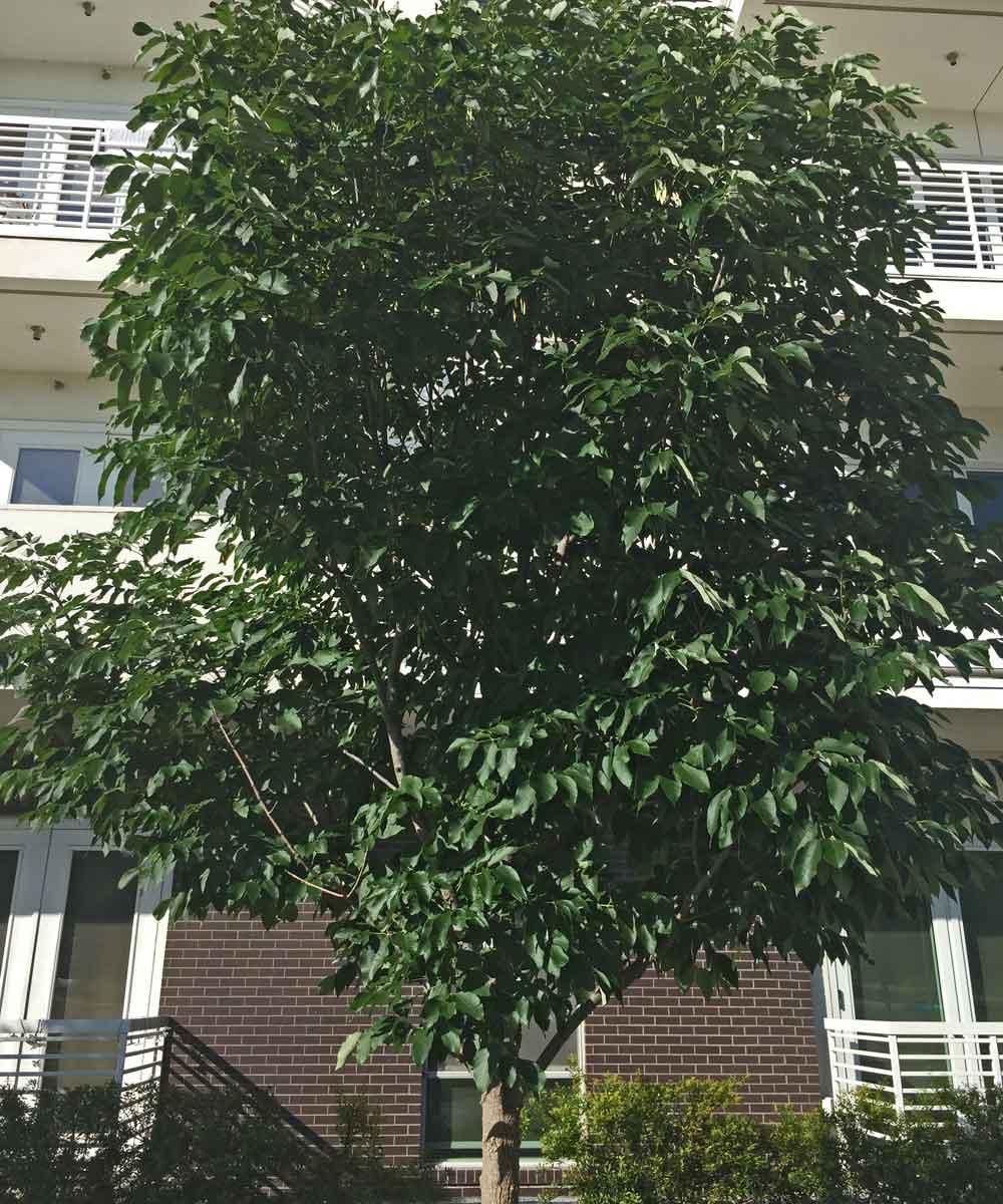 urbanite ash tree