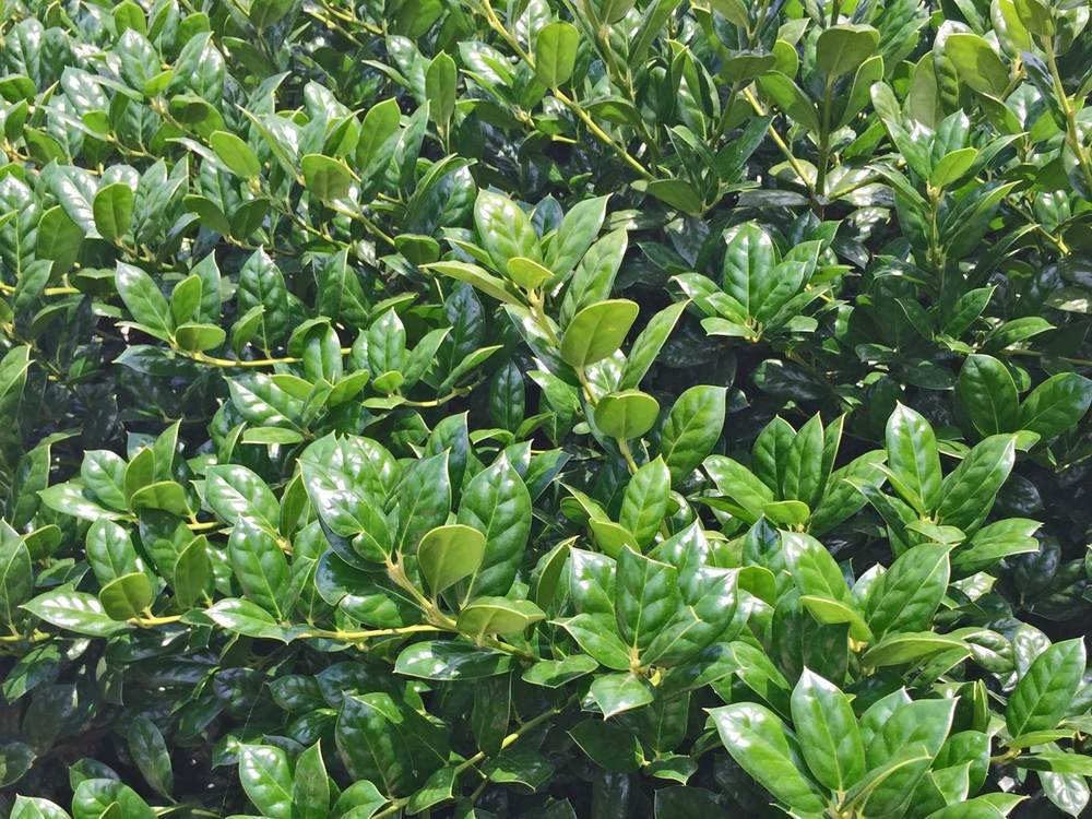 dwarf burford holly shrub (ilex cornuta 'burfordii nana')