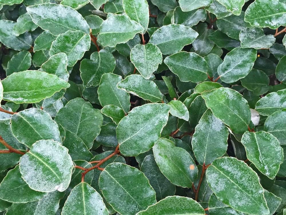 elaeagnus shrub (elaeagnus macrophylla)