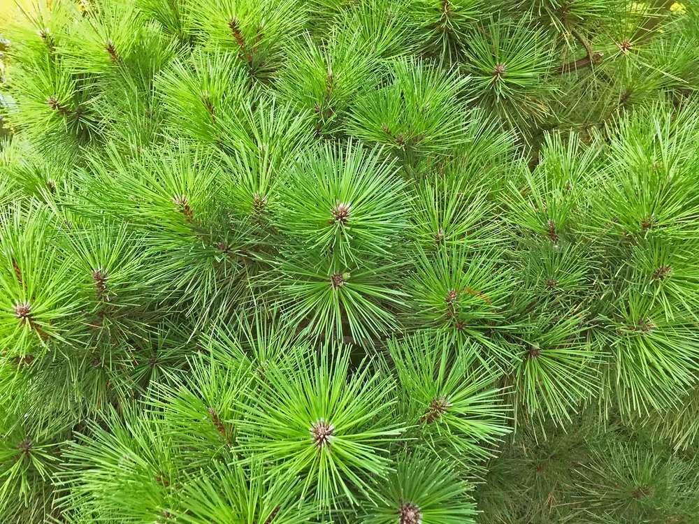 dwarf-mugo-pine