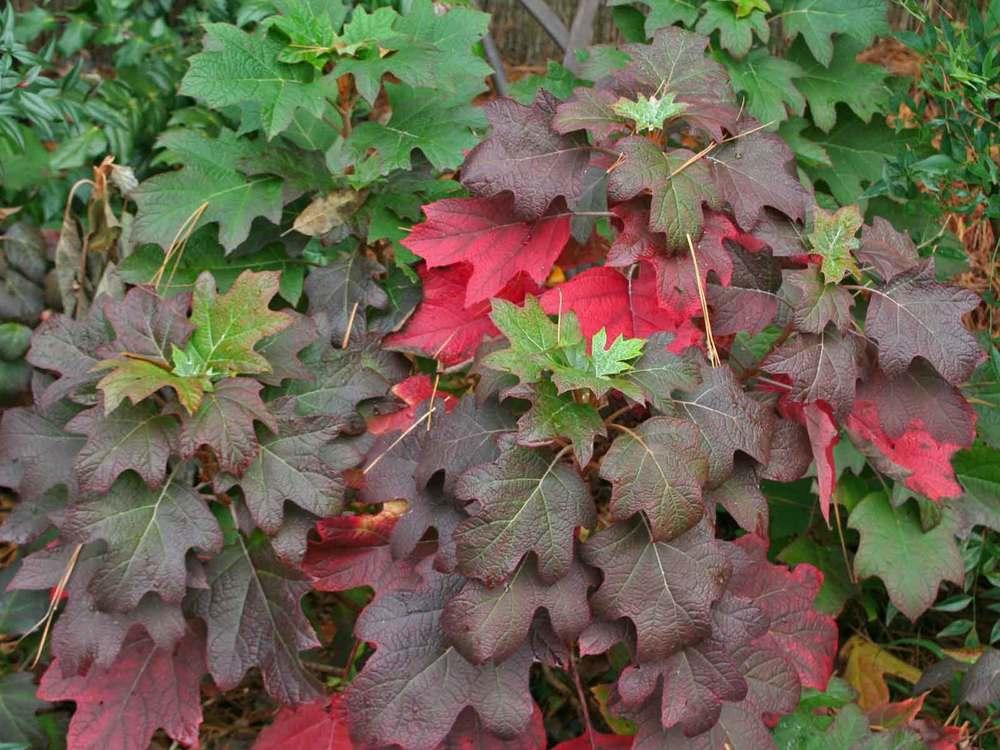 oakleaf-hydrangea-fall-color