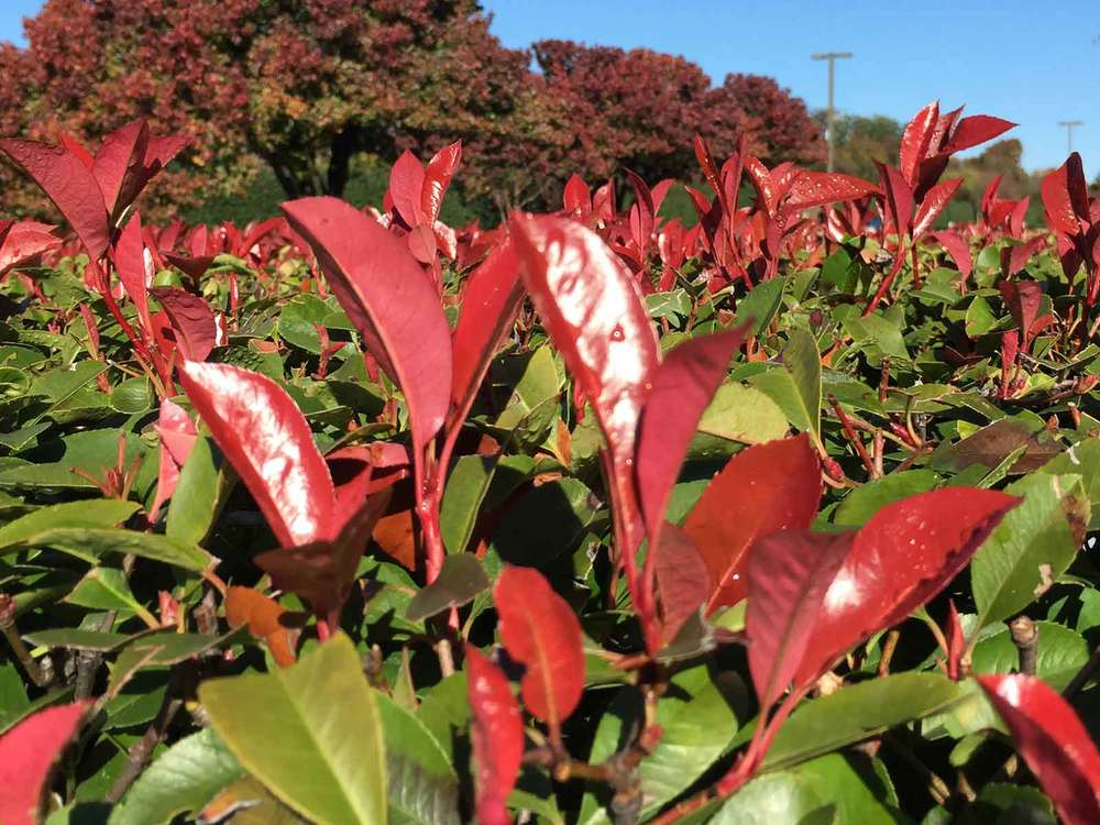 photinia-hedge