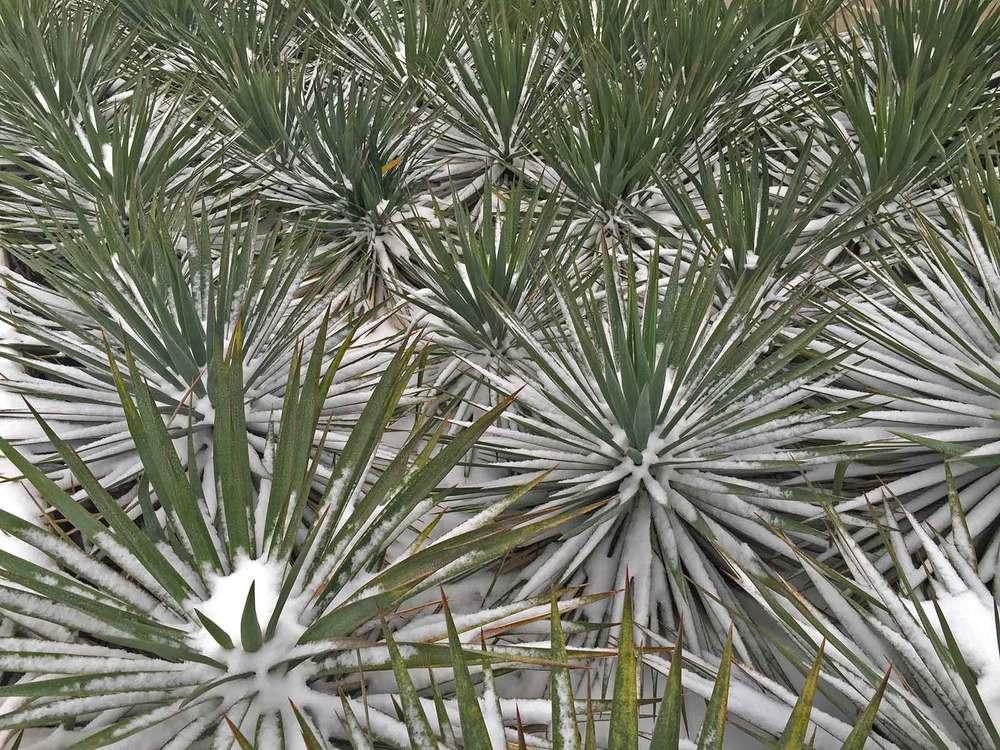 soft-leaf-yucca