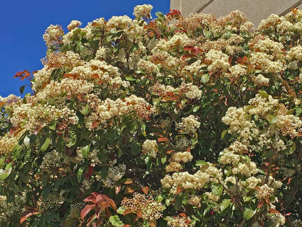 photinia-flowers