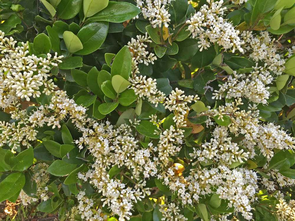 waxleaf-privet-wax-ligustrum