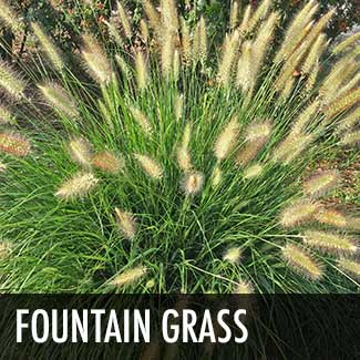 fountain-grass