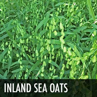 inland-sea-oats-grass