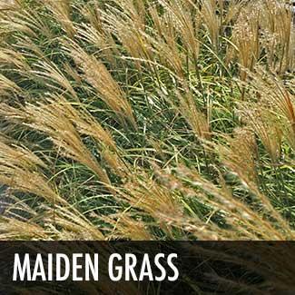 maiden-grass