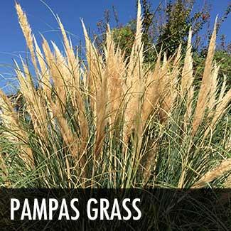 pampas-grass