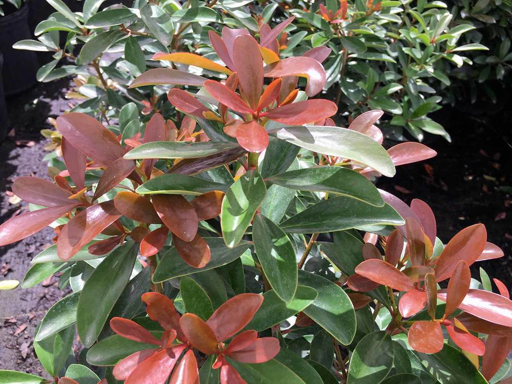 cleyera-shrub-leann