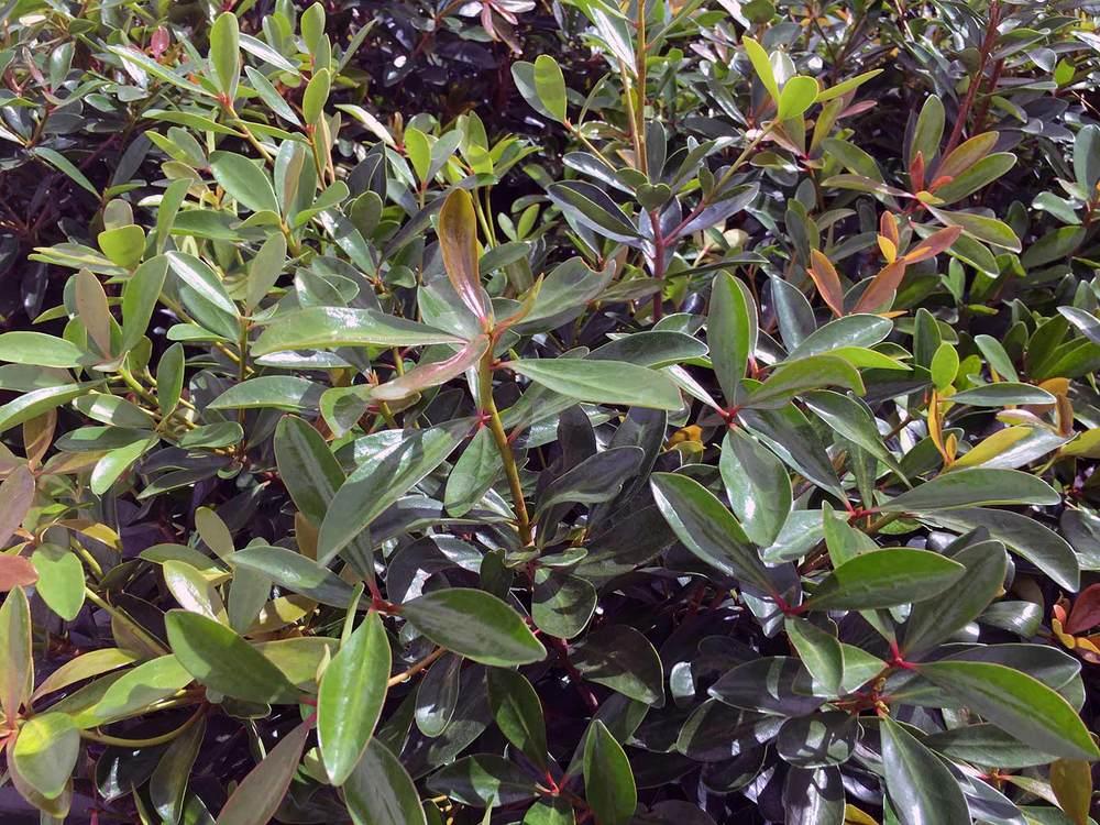 cleyera-shrub