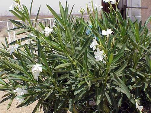 Plants for dallas your source for the best landscape plant oleander shrub photo white blooms mightylinksfo