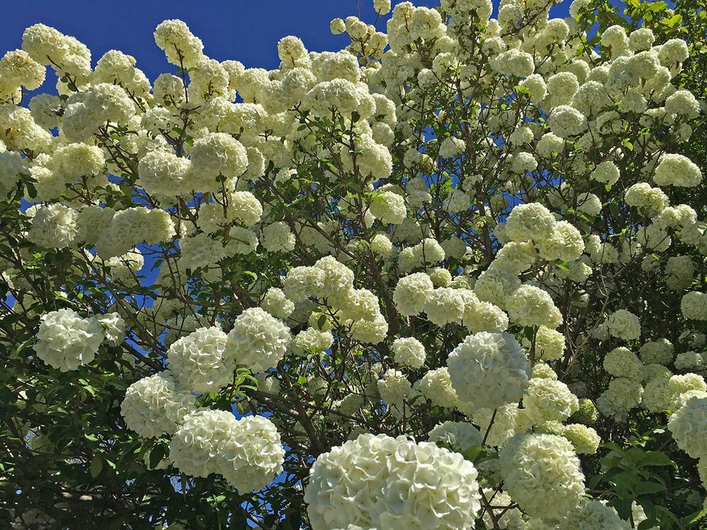 Plants for dallas your source for the best landscape plant snowball viburnum spring blooms mightylinksfo