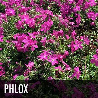 phlox-plant