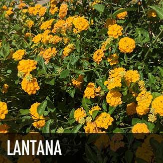 lantana-plant