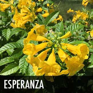 esperanza-plant