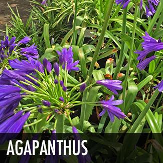 agapanthus-perennial