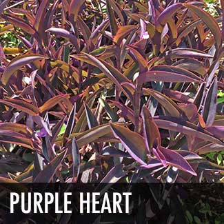 purple-heart-plant_thumb.jpg