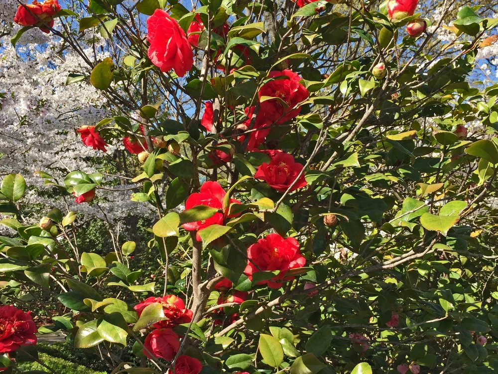 camellia red bloom