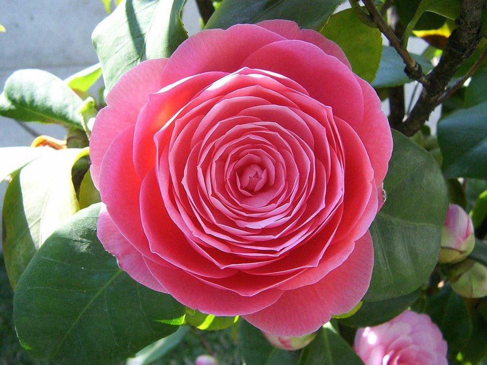 camellia pink bloom