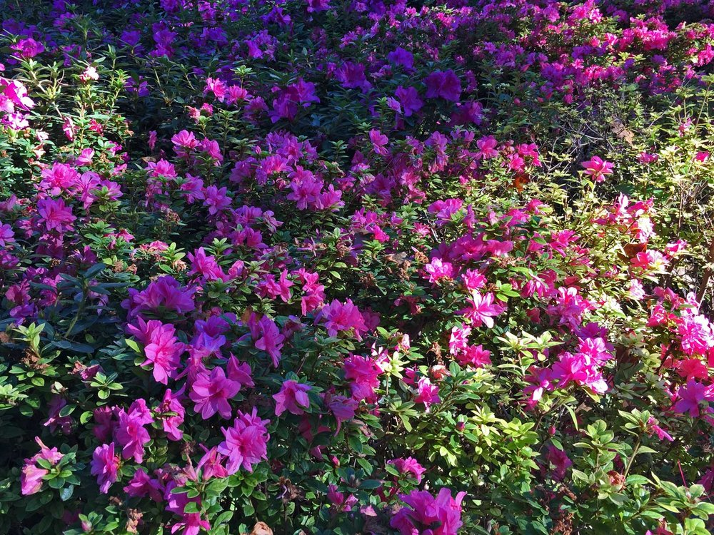 encore azalea 'royalty'