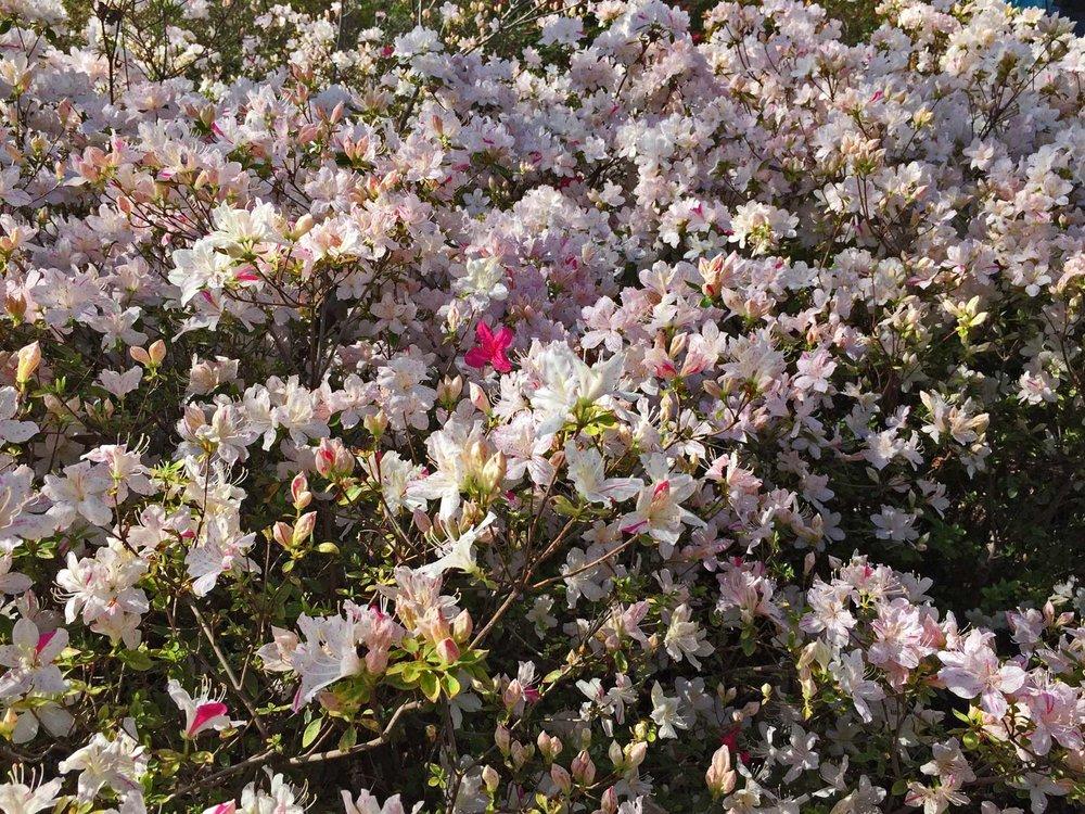 azalea white blooms