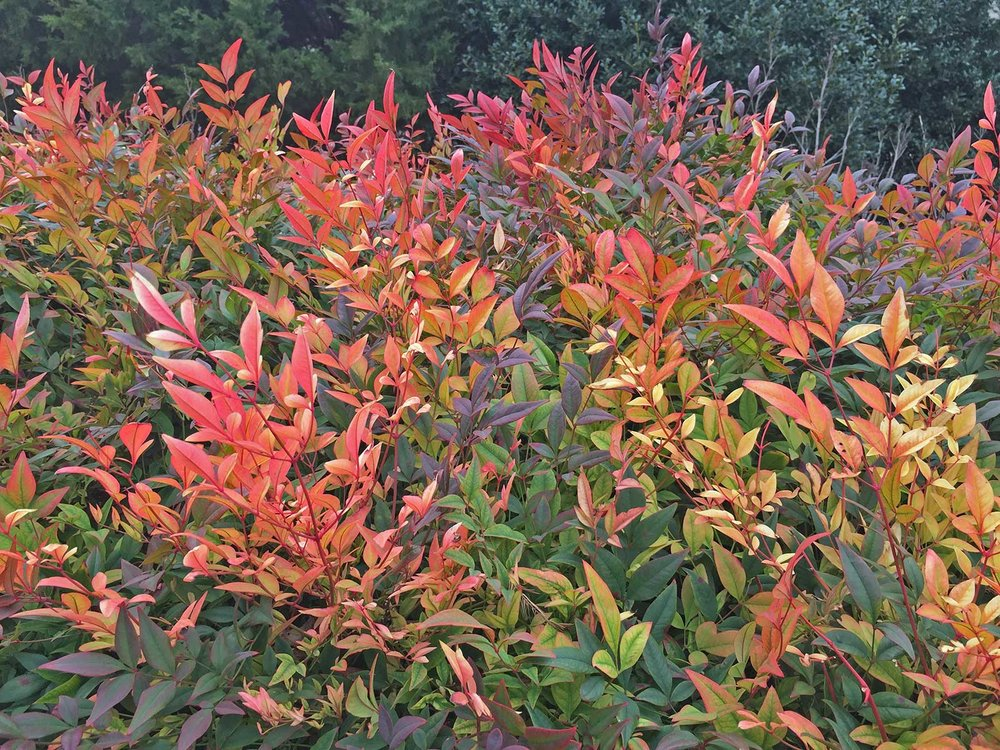 nandina-winter-color
