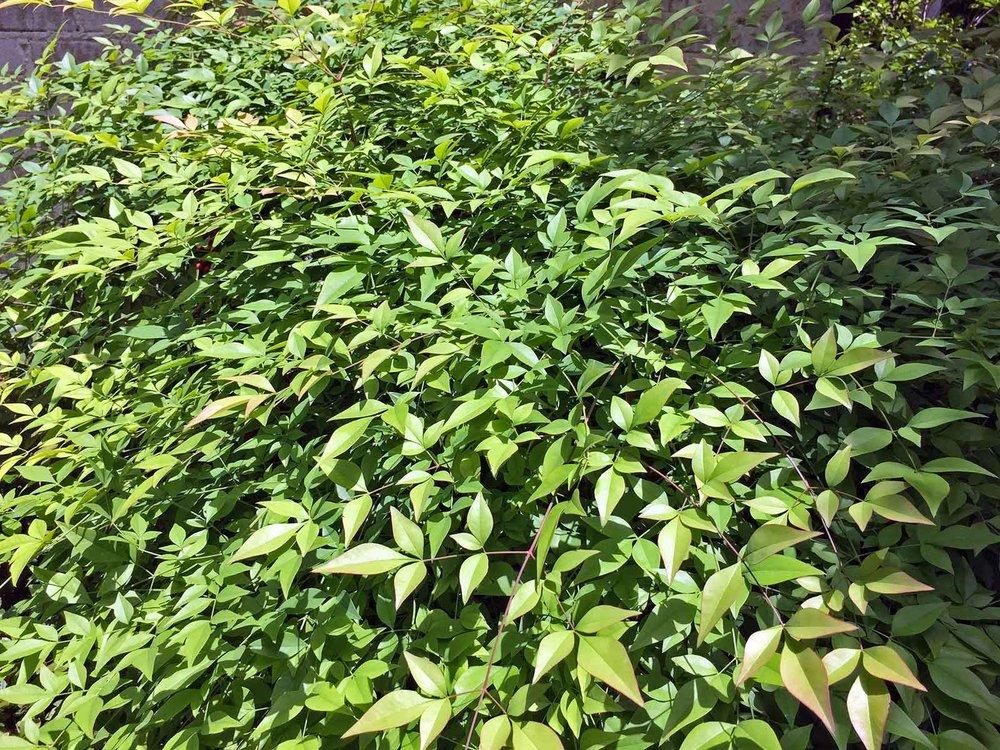 nandina-green-leaves