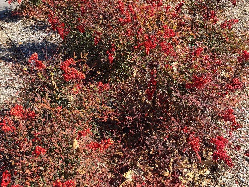 nandina-winter-berries