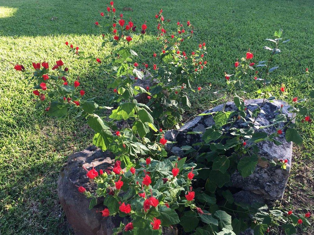 turks-cap-red-blooms