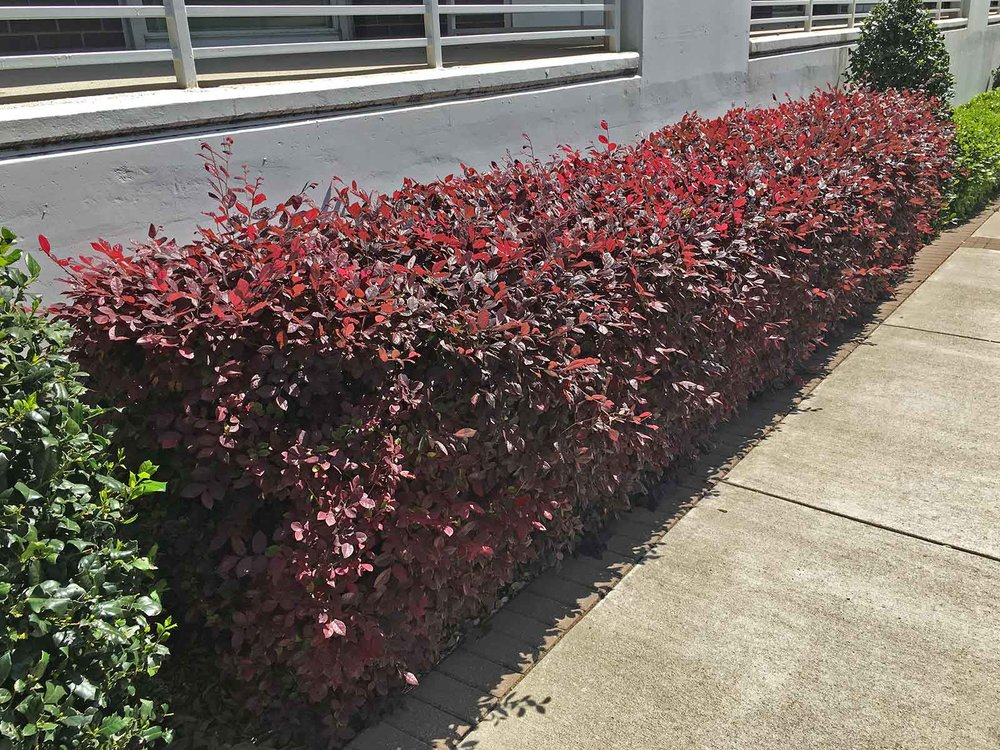 Hedge form - Here Lorepetalum us used as a foundation planting along a sidewalk.