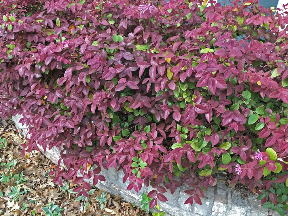 loropetalum-chinese-fringe-flower
