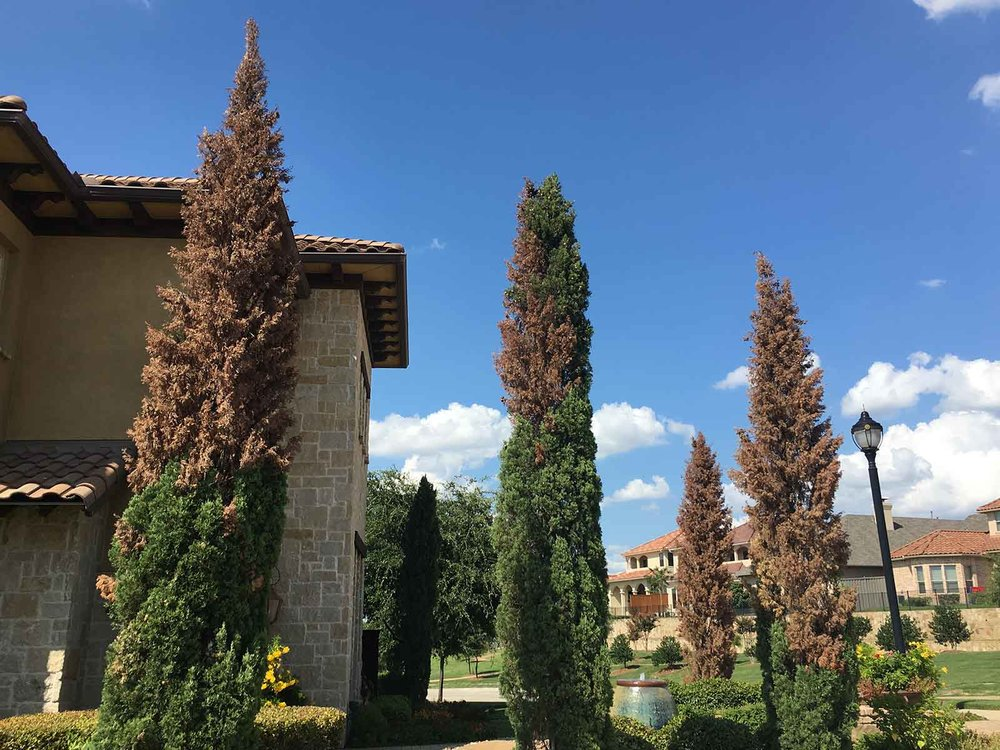 An existing grouping of mature Italian Cypress trees that are now turning brown due to disease.