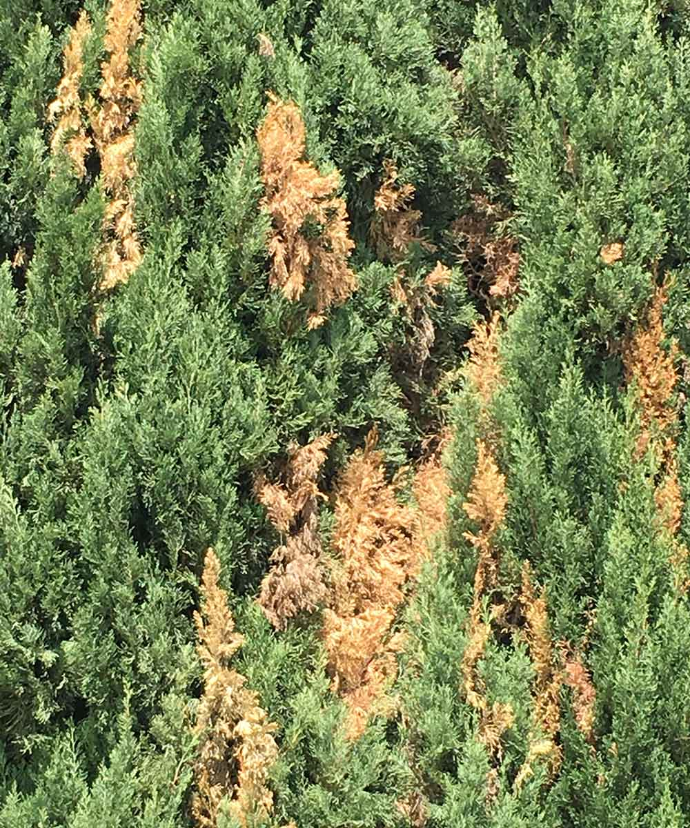 An example of Italian Cypress foliage as a result of Seridium Canker disease.