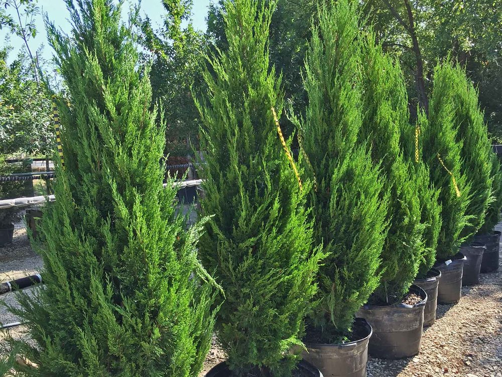 Spartan Juniper (Juniperus chinensis 'Spartan') is a valid alternative for Italian Cypress providing an evergreen and columnar form for accent & tight spaces. 3-4' wide & 12-15' height