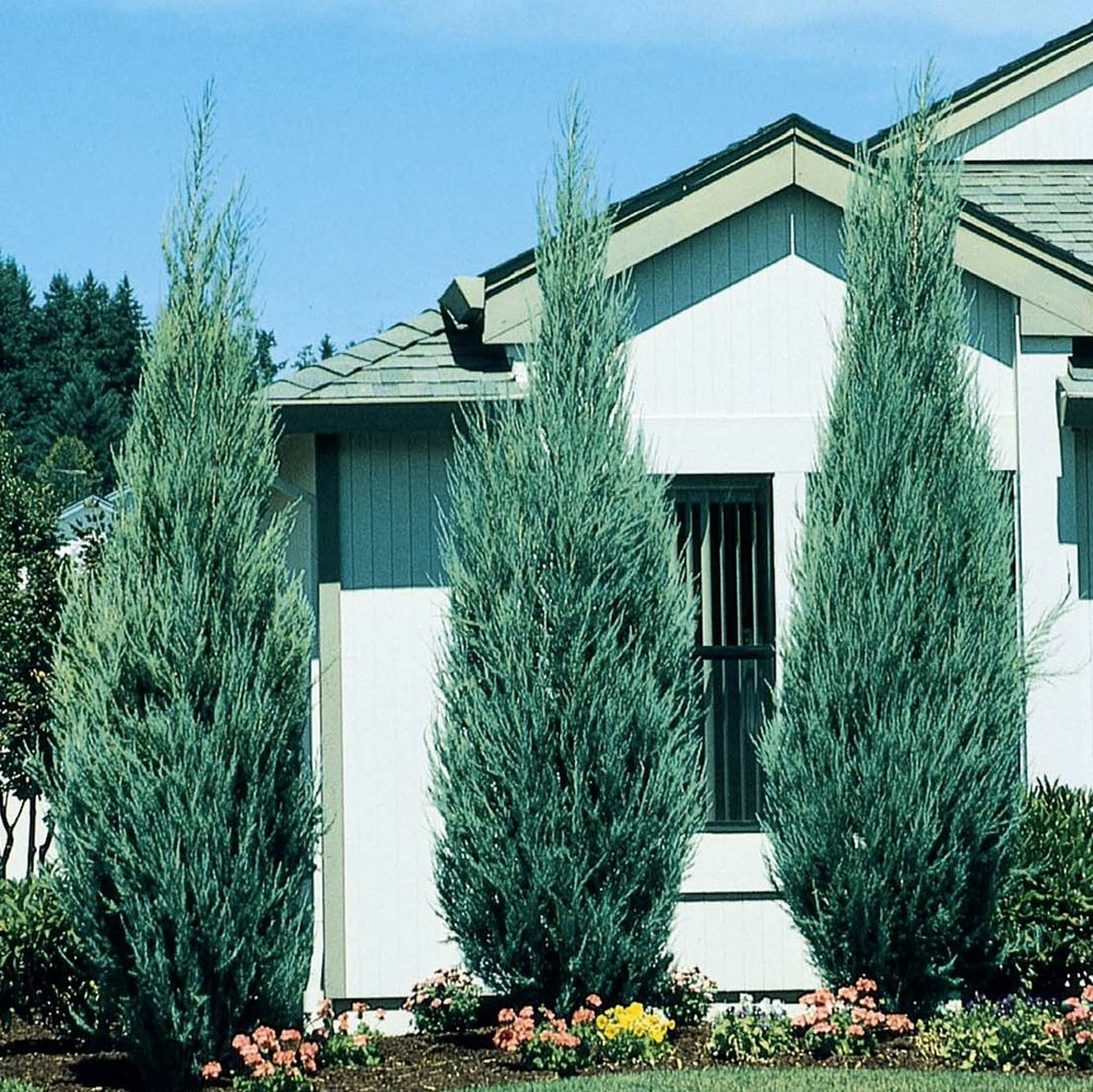 Skyrocket Juniper (Juniperus scopulorum 'Skyrocket' - An upright form with a light blue-green foliage color. 3' wide & 18' height. (Image from Monrovia)