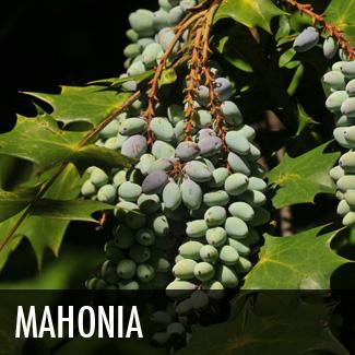 mahonia