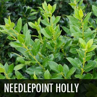 needlepoint holly
