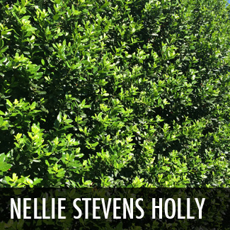 nellie r. stevens holly