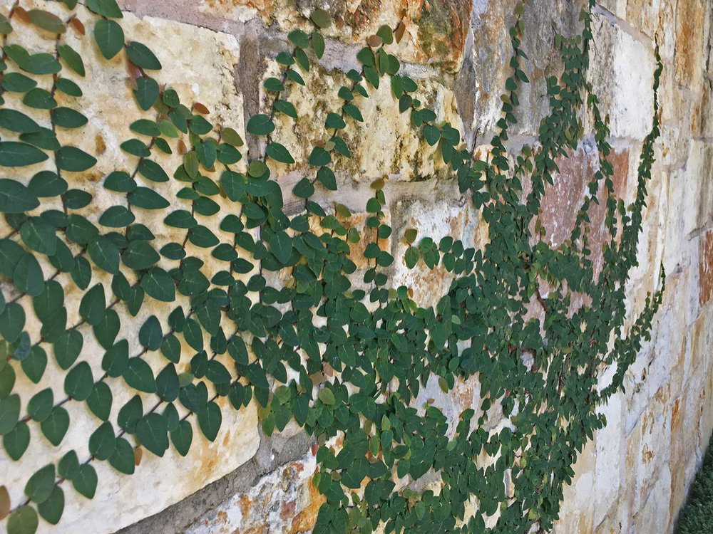 fig ivy (creeping fig)