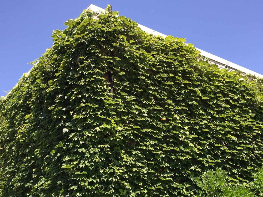 boston-ivy-vine